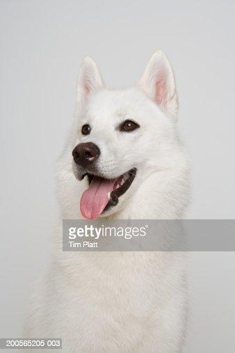 White Siberian husky with open mouth, close-up : Bildbanksbilder