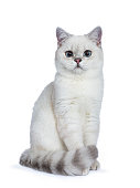 Silver tabby seal point British Shorthair sitting in front of the camera looking at you isolated on white background.