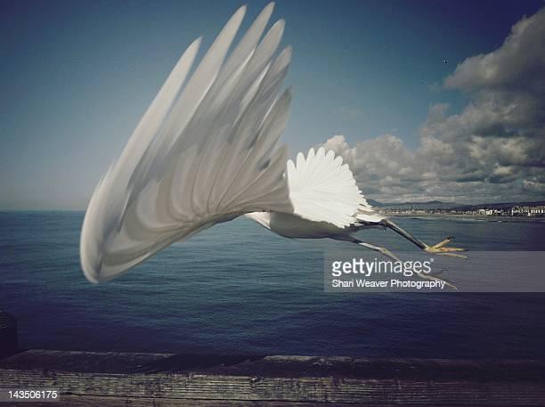 White Snowy Egret in flight