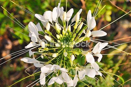 White Spider Flower Stock Photo Thinkstock