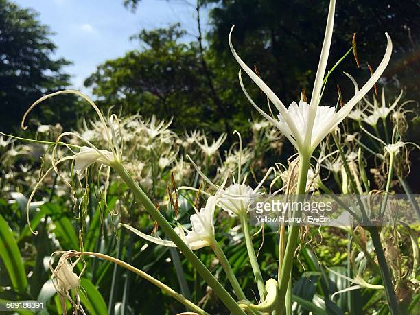 White spider lily blooming in park