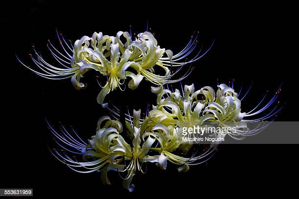 White spider lily flowers in black