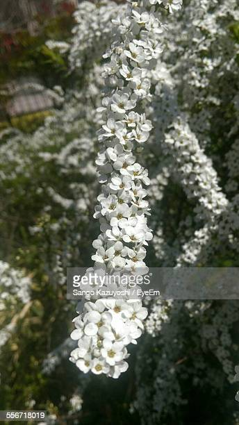 White Spiraea Blooming In Park