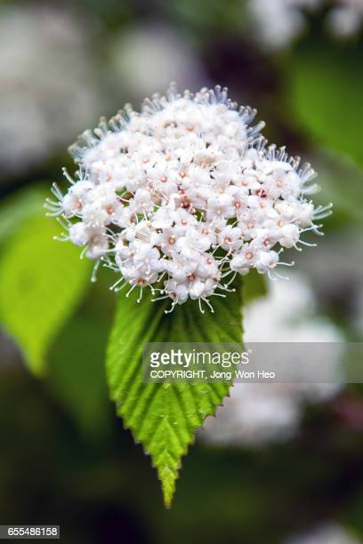 White Spiraea flower on the green leaf