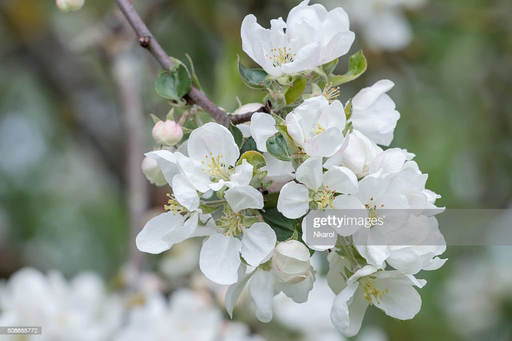 White spring flowers of apple fruit tree branch close-up : Stock Photo
