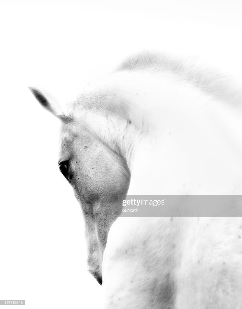 White Stallion Andalusian Horse Neck Kind Eye : Stock Photo