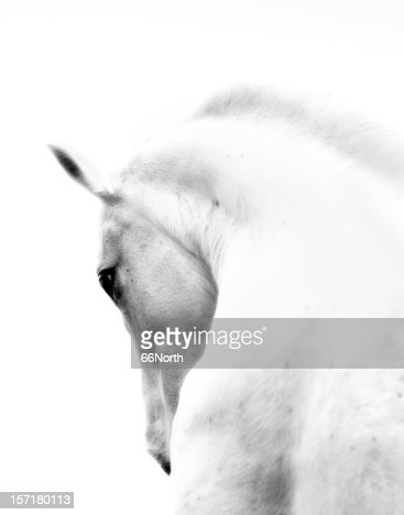 White Stallion Andalusian Horse Neck Kind Eye