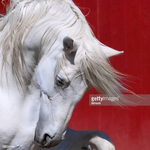 White Stallion Horse Andalusian BW Dressage