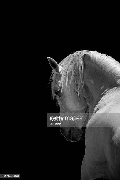 White Stallion Horse Andalusian BW