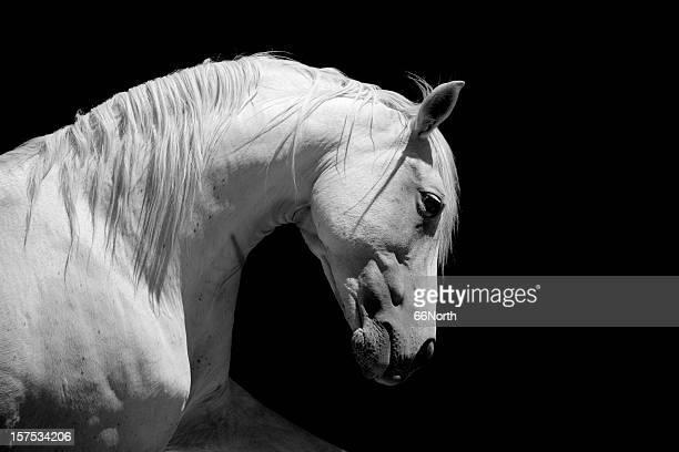 White Stallion Horse Andalusian BW