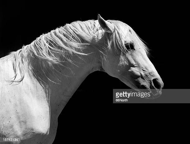White Stallion Horse Andalusian