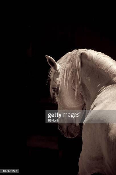 White Stallion del Cavallo andaluso