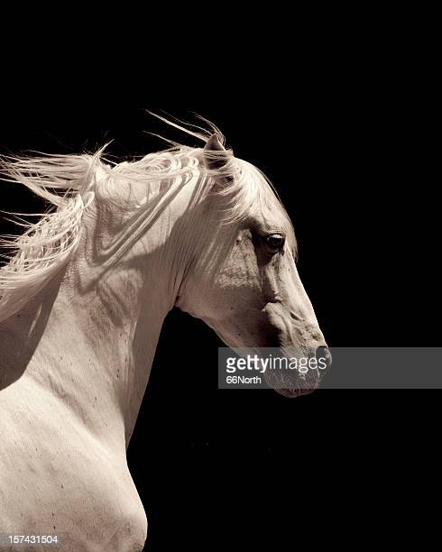 White Stallion Horse Andalusian