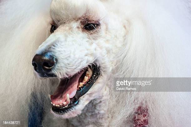 White Standard Poodle is prepared during the World Team Dog Grooming Championships on October 13 2013 in Barcelona Spain Seventeen countries...