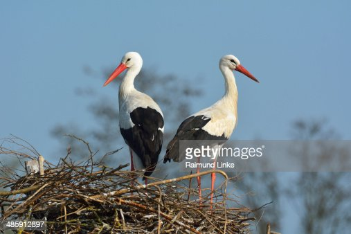 White Storck, Ciconia ciconia : Stock Photo