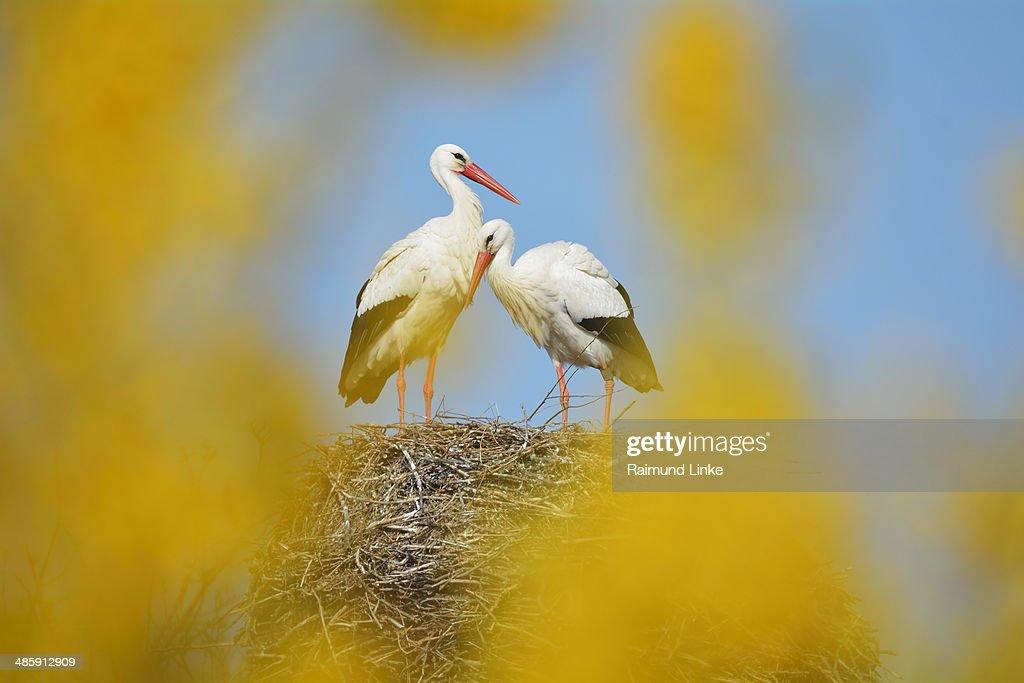 White Storck, Ciconia ciconia : Stock Photo
