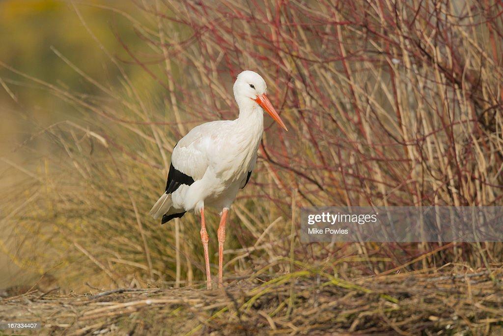 White Stork, adult at the nest, Norfolk, UK : Stock Photo