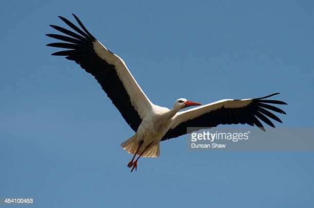 White Stork Belgium