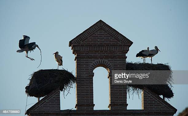 A white stork carries a twig to build its nest on top of a church on February 27 2015 in Alcala de Henares Spain Fewer white storks are migrating to...