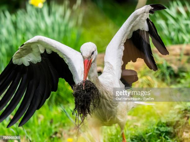 White Stork Carrying Roots In Beak On Field