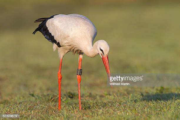 White Stork -Ciconia ciconia- foraging on meadow, North Hesse, Hesse, Germany