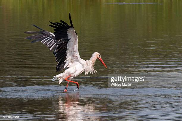 White Stork -Ciconia ciconia- standing in water, bathing, with wings spread, North Hesse, Hesse, Germany