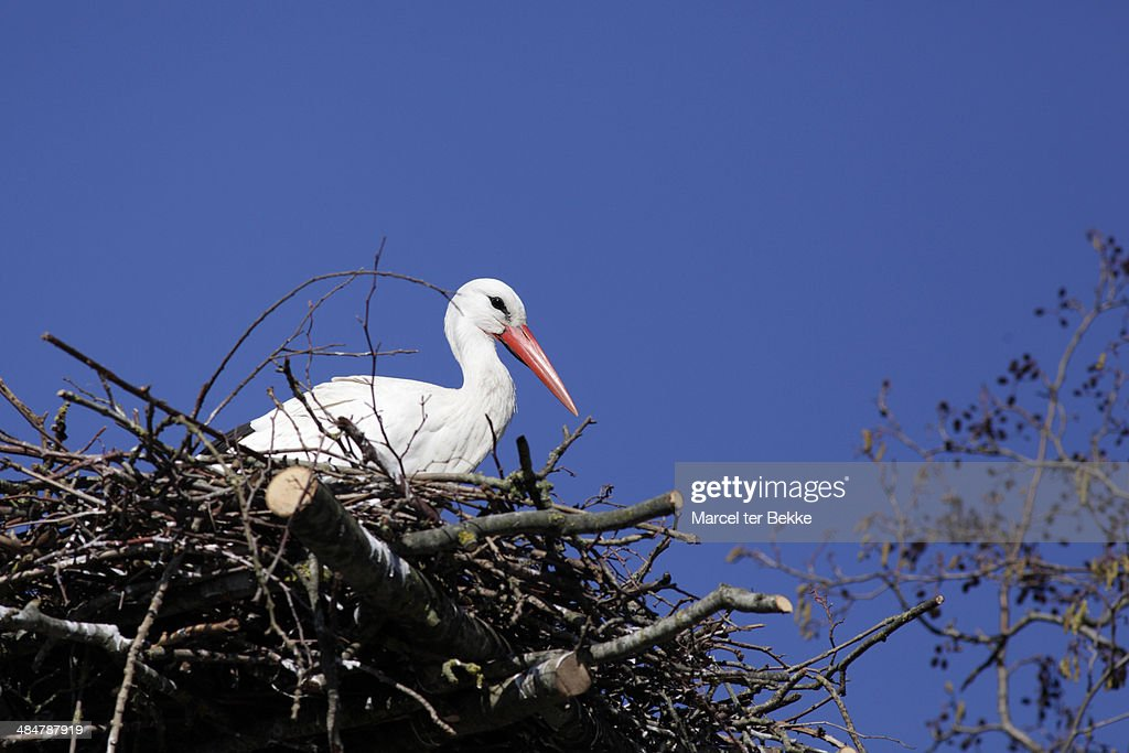 White stork on its nest : Stock Photo