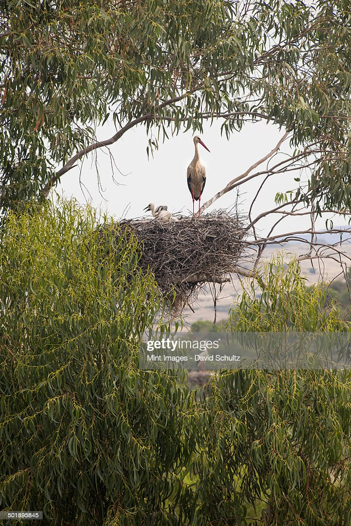 A white stork perched on a nest in the branches of a tree. : Stock Photo