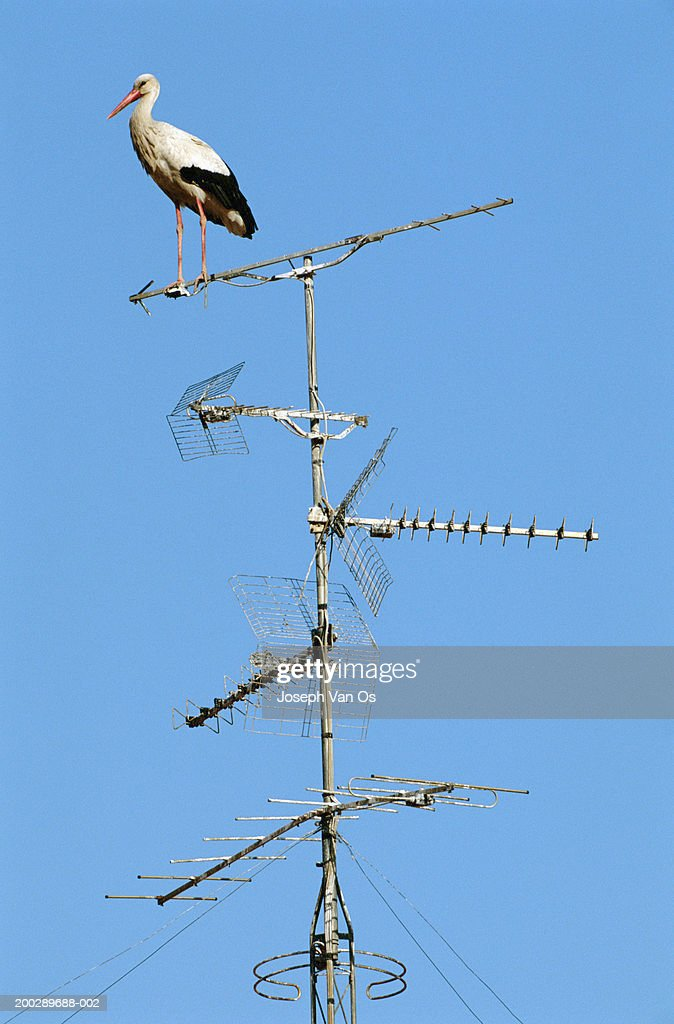 White stork (Ciconia ciconia) perching on antenna, side view : Stock Photo