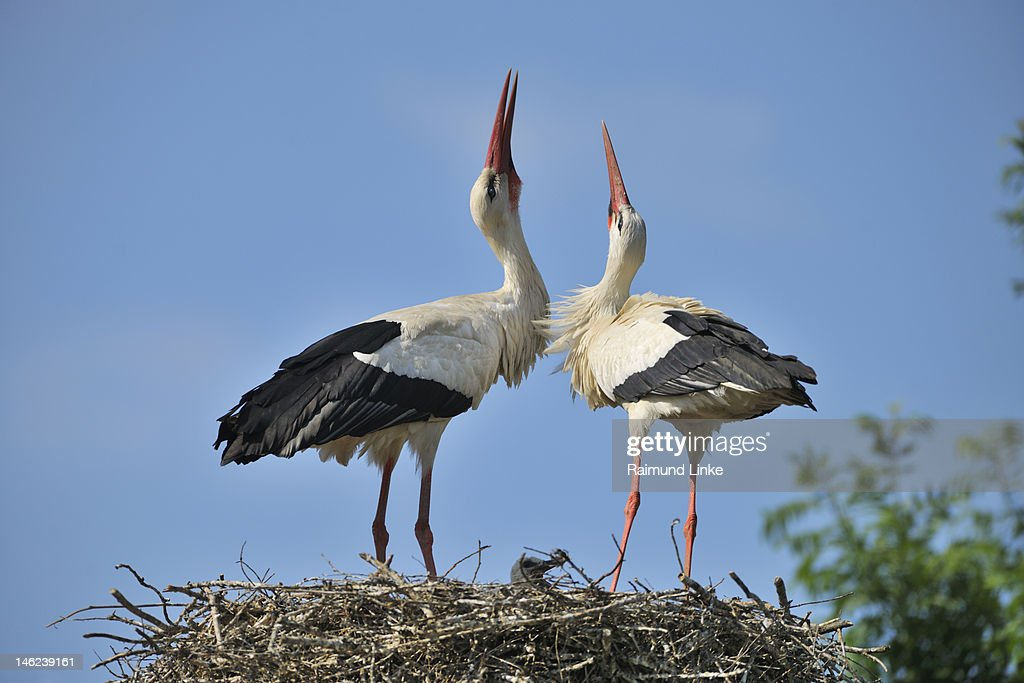 White Stork : Stock Photo