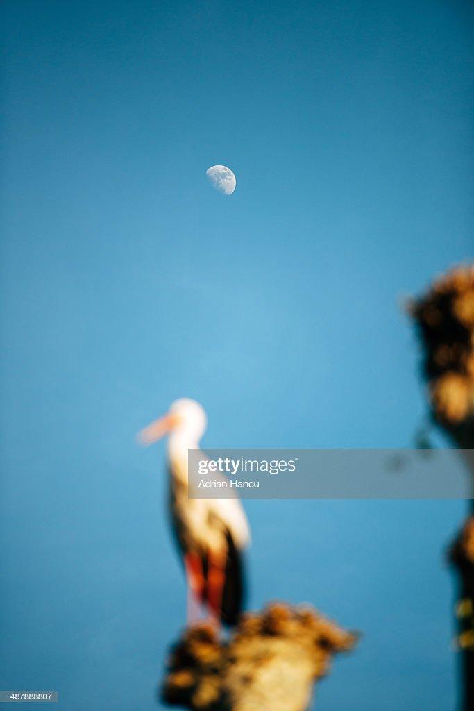 White stork silhouette against moon : Stock Photo
