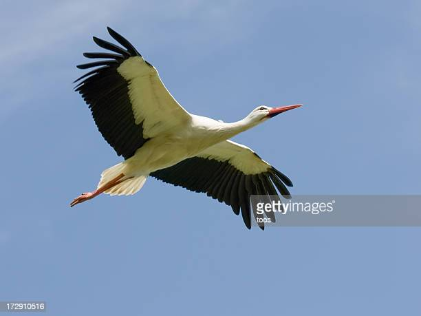 White Stork Soaring - Close-up, with copy space