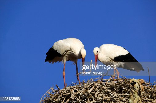 White storks (Ciconia ciconia) building nest, Morocco, North Africa : Stock Photo