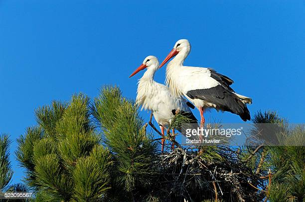 White Storks -Ciconia ciconia- sitting on a nest, Muri, Switzerland, Europe