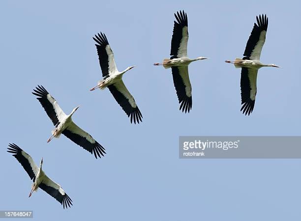 Weißstörche flying Ciconia (Bildgröße XXXL