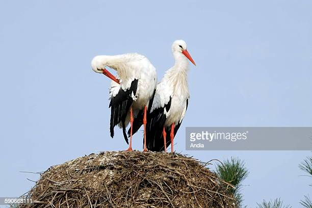 White Storks in their nest
