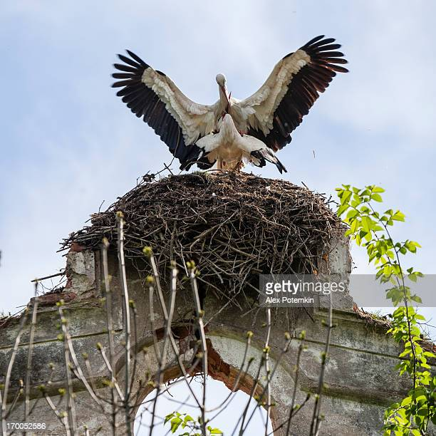 White Storks Mating In The Nest