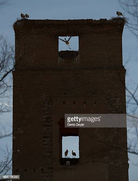 White storks nest at an abandoned building on February 27 2015 in Alcala de Henares Spain Fewer white storks are migrating to and from Africa and...