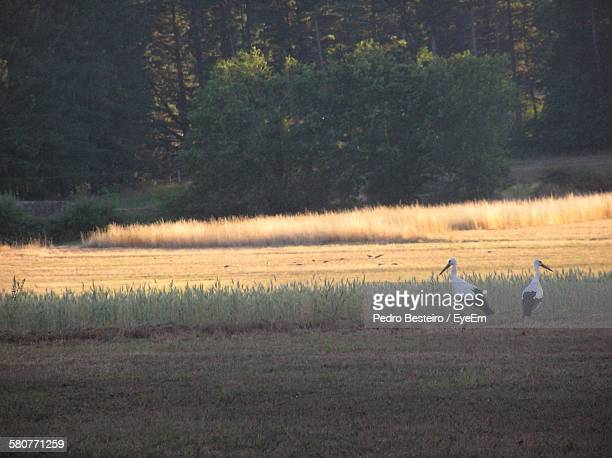 White Storks On Field In Forest
