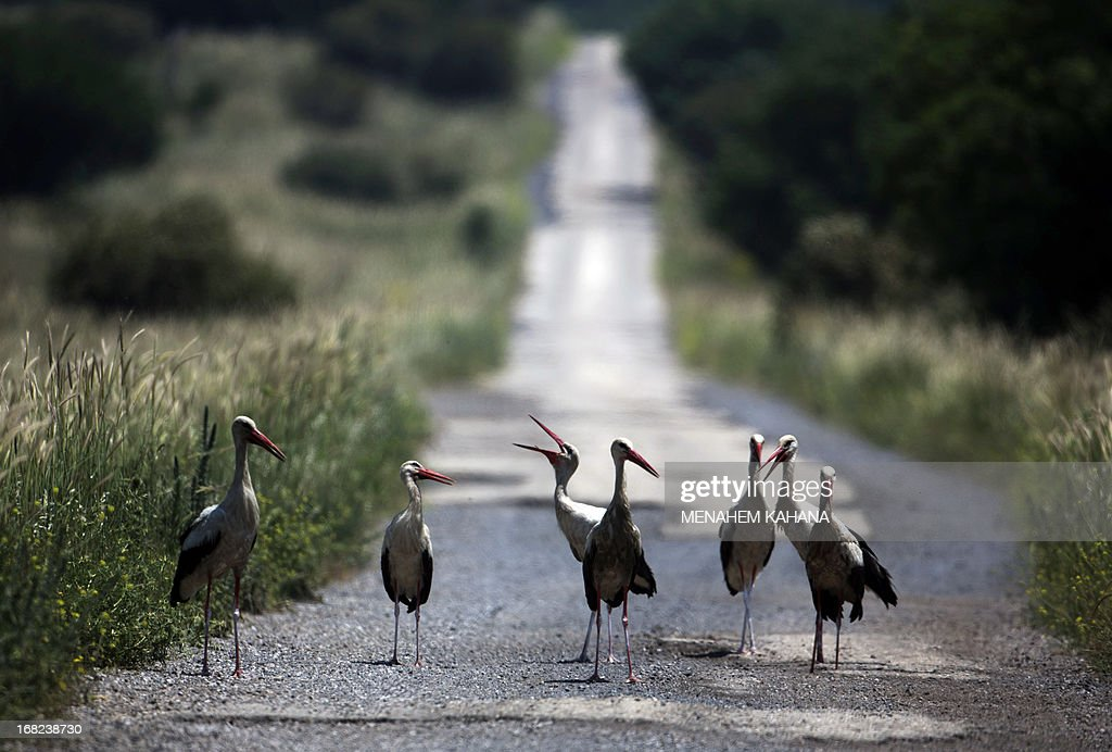 White Storks stand on a road in the Israeli annexed Golan Heights, near the border with Syria, on May 7, 2013. The birds are long-distance migrants, traveling to Europe and Africa and avoiding crossing the Mediterranean Sea by making a detour via the Levant as they depend on air thermals during their flight which do not form over a large body of water. AFP PHOTO/Menahem KAHANA