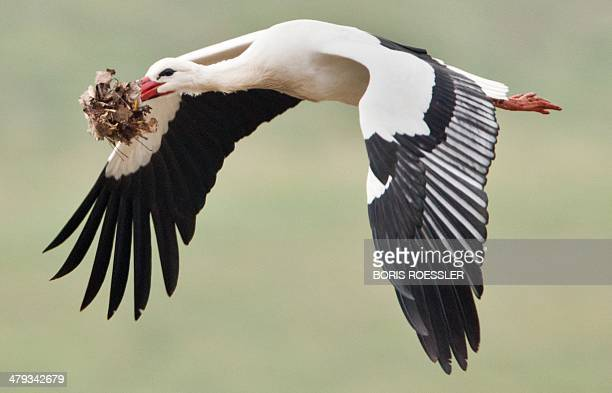 A white storks transports material to build a nest near Biebesheim am Rhein western Germany on March 18 2014 AFP PHOTO / DPA / BORIS ROESSLER /...