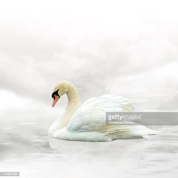 White swan in mist