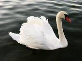 white swan on a dark lake