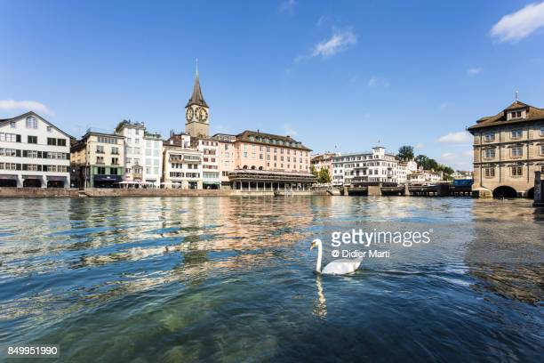 White swan on the Limmat river in the heart of Zurich