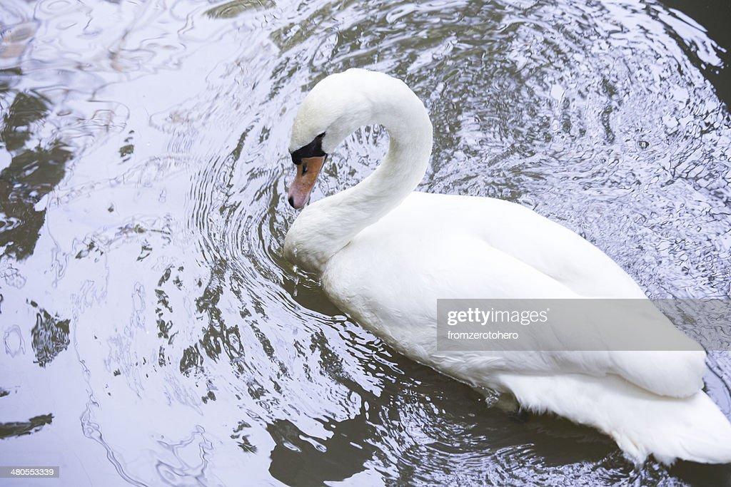 Cisne blanco : Foto de stock
