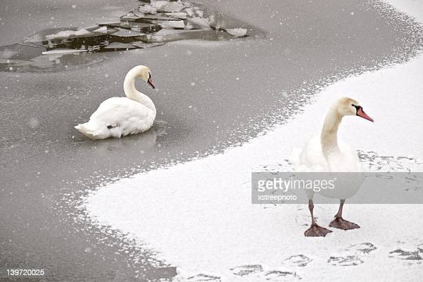 White swan standing on ice and snow