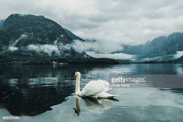 White swan swimming in lake in foggy weather