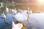 White swans in the pond with man hand