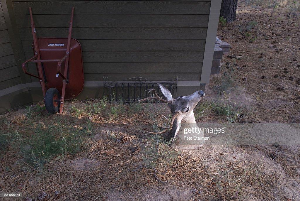 White Tail Deer Head(buck) : Stock Photo