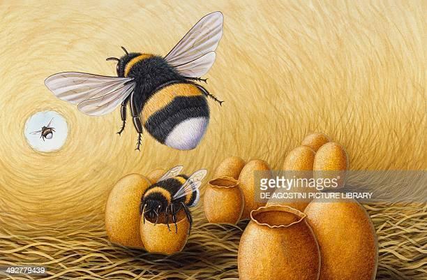 White tailed bumblebee nest Apidae Artwork by Bob Bampton